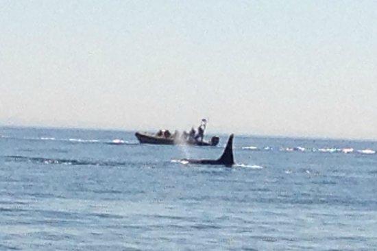 San Juan Island Whale & Wildlife Tours: Orca sighting