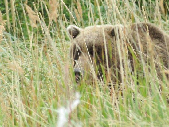 Alaska Bear Adventures: Teddy bear?