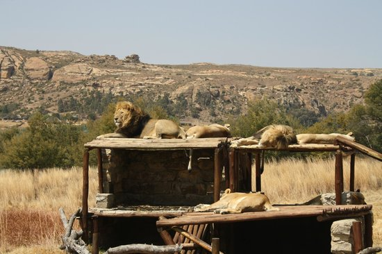 Clarens, South Africa: Big pride of lions - two males and 10 females