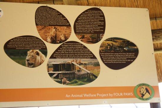 Lionsrock Big Cat Sanctuary: The lions currently at Lionsrock