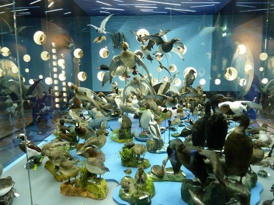 Borgarnes Museum : Bird Display