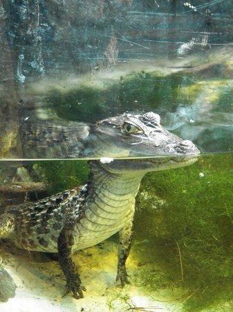 Newport Aquarium : one of the resident crocs