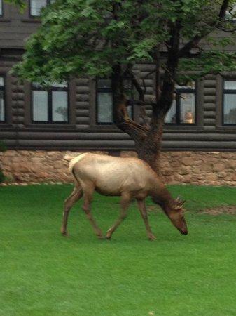 Elk on the Lawn outside El Tovar Dining Room - Picture of El Tovar ...