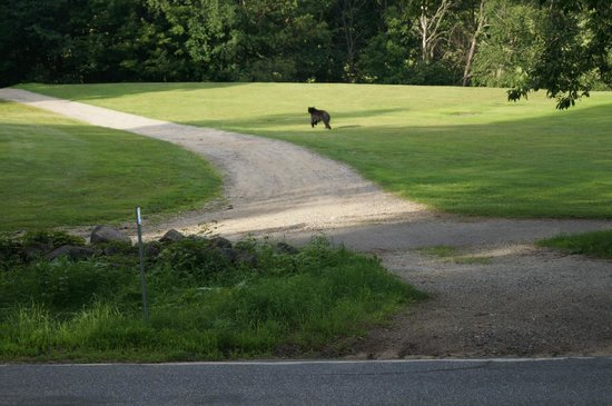 Carter Notch Inn: bear on the run