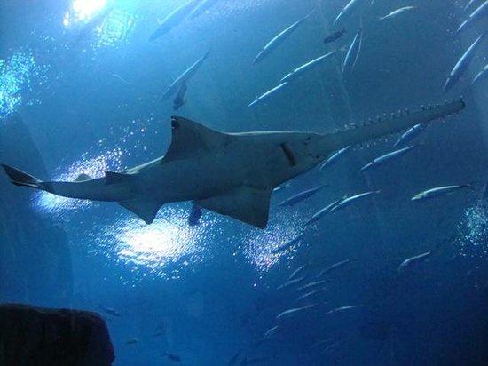 Georgia Aquarium: Shark
