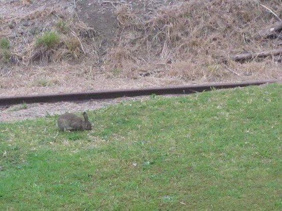 Riverview Motor Inn: Rabbits at dawn