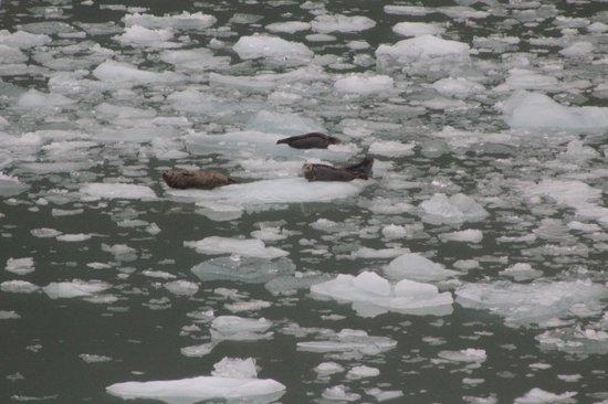 Sawyer Glacier : Seals