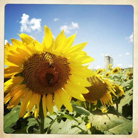 Sunflowers at Broom's Bloom Dairy.