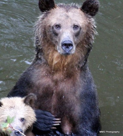 Grizzly Bear Lodge & Safari: Bear Heaven!