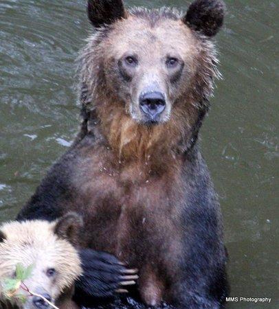 Grizzly Bear Lodge & Safari : Bear Heaven!
