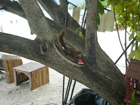 Baan Chaweng Beach Resort & Spa: Squirel in the trees