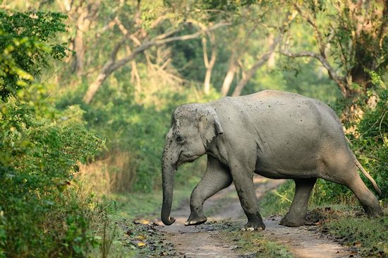 Jorhat, India: kaziranga national park elephant
