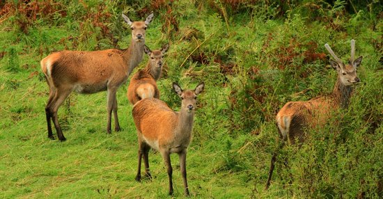 Discover Mull Tours: Red deer