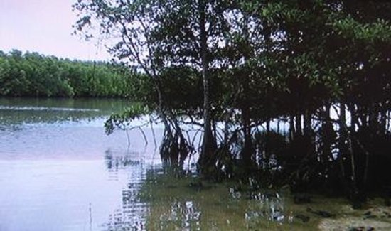Miyara River Hirugi Grove: マングローブ林1