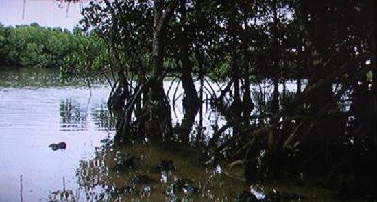 Miyara River Hirugi Grove: マングローブ林2