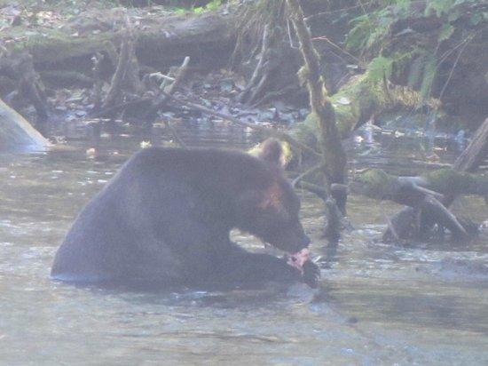 Aboriginal Journeys Wildlife and Adventure Tours: Griz having lunch. Sushi anyone??