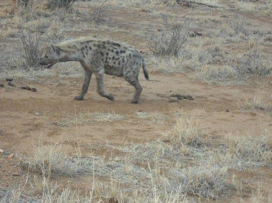 Etali Safari Lodge: Spotted Hyena