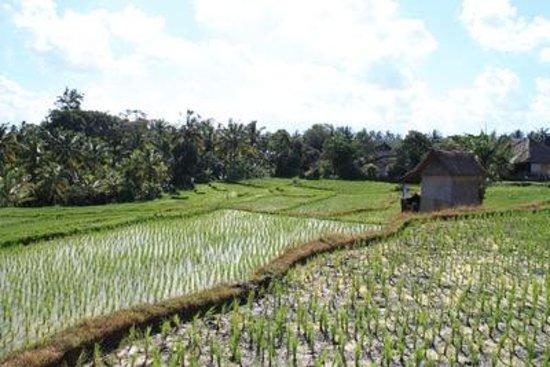 Bintang Pari Cottage: Aussicht auf die Reisfelder vom Hotelgelände aus