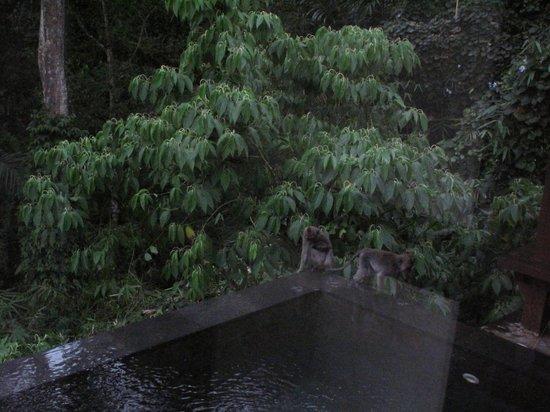 Hanging Gardens of Bali : Notre piscine, et la visite de copains dans la nuit