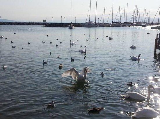 Hotel-Restaurant de la Rouvenaz: Swan lake, literally!