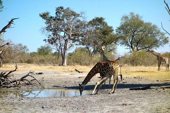 Wilderness Safaris Vumbura Plains Camp: giraffe