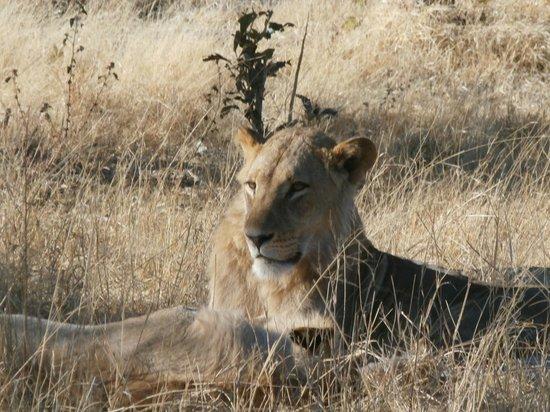 Wilderness Safaris Vumbura Plains Camp: lion