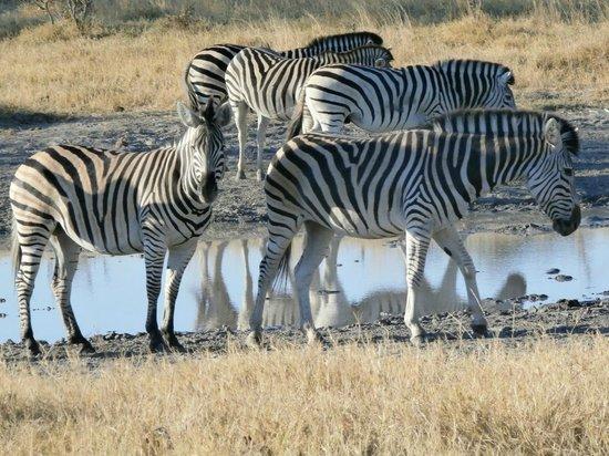 Wilderness Safaris Vumbura Plains Camp: zebra