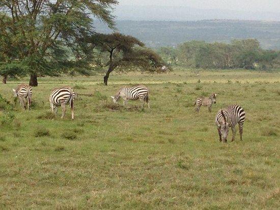 Tanke Tours : Zebra