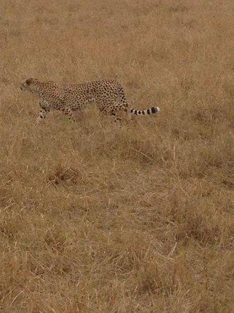 Tanke Tours : Cheetah