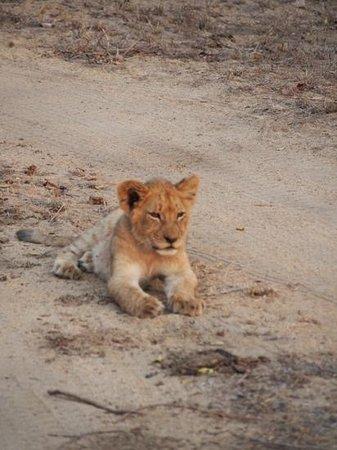 Thornbush Game Reserve: lion cub resting