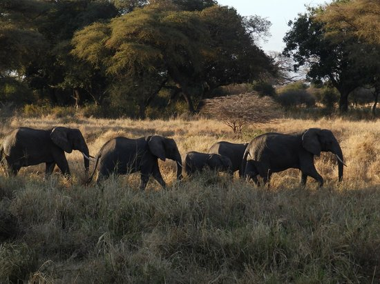 Kirurumu Tarangire Lodge: Elephants in front of the restaurant