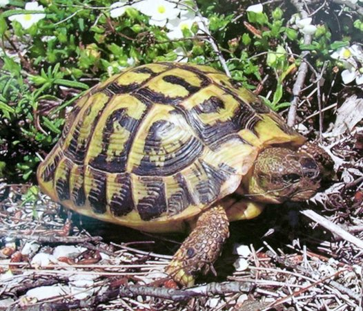 Punta Amer: Mediterranean tortoise