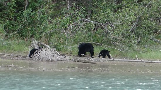 Bowron Lakes Provincial Park : Plenty of wild life to see, here a black bear and 3 cubs.