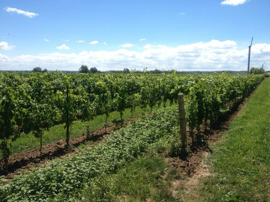 Pondview Estate Winery : VInes