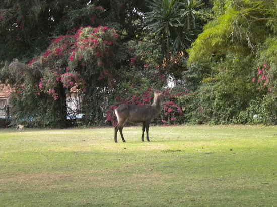 Lake Naivasha Country Club-Sun Africa Hotels: Water buck on the lawn.