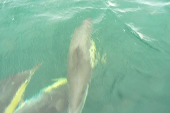 Marine Discovery: Common dolphins weaving around the boat