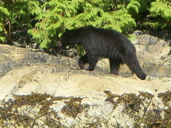 Eagle Nook Resort: The wonderful black bear!