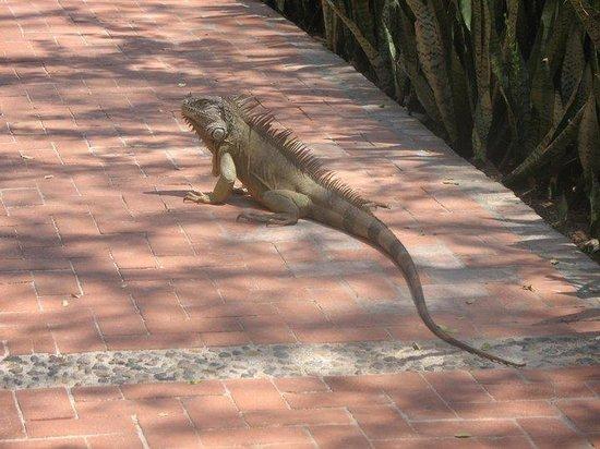 Los Tules Resort: Me encanta encontrame  iguanas en el camino