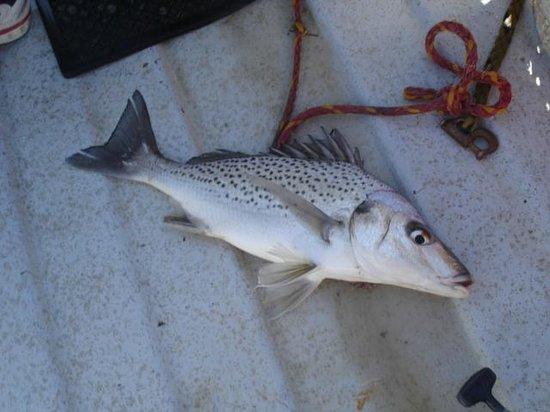 Mudlark River Front Lodge: Spotted Grunter C&R