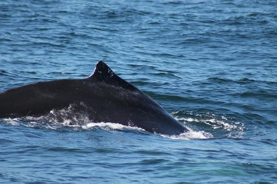 Hyannis Whale Watcher Cruises : Humpback