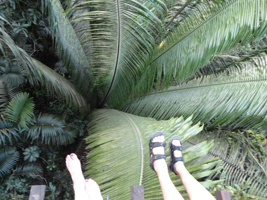Hacienda Tijax: corozo palms 17 meters high from the suspension bridges