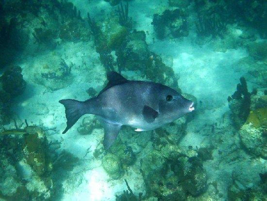 Bight Reef: An Ocean Triggerfish