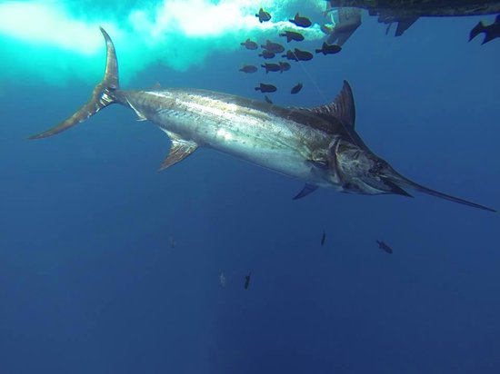 Nosara Paradise Rentals: My first blue marlin