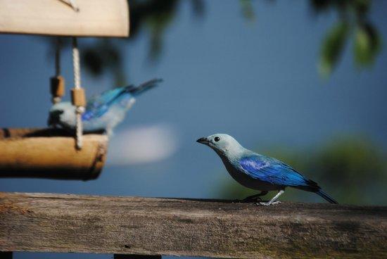 Castara Retreats: Coasthanger's  blue tanagers