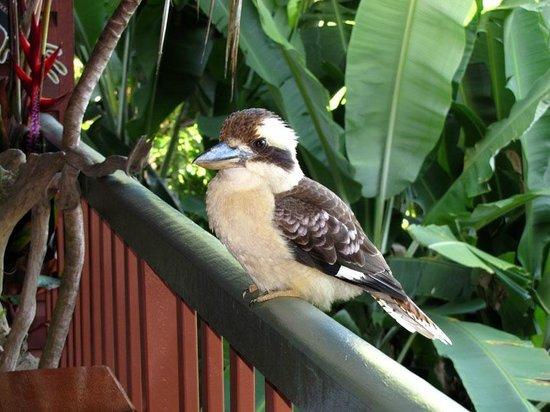 Mossman Gorge Bed and Breakfast: Kookaburra on the veranda