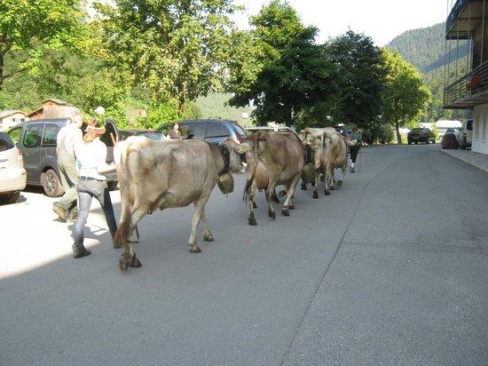 Hotel Krone: Sur le parking, la descente des alpages des vaches du voisin !