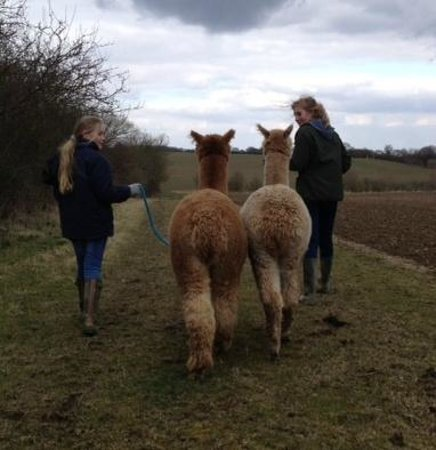 Butlers Farm Alpacas: Walking with Alpacas