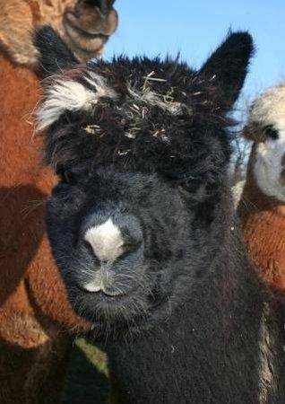 Butlers Farm Alpacas: Nosey Paca!