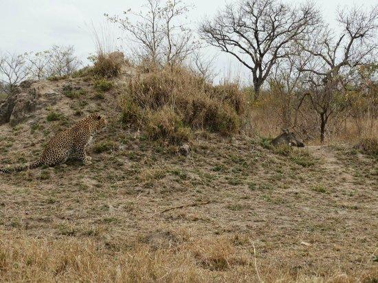 Leopard Hills Private Game Reserve: Male leopard