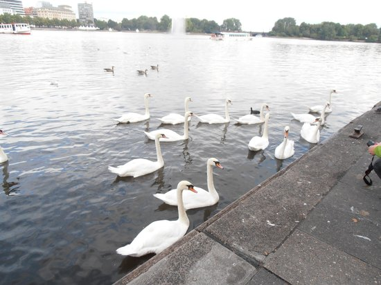 Alster Lakes: Swans
